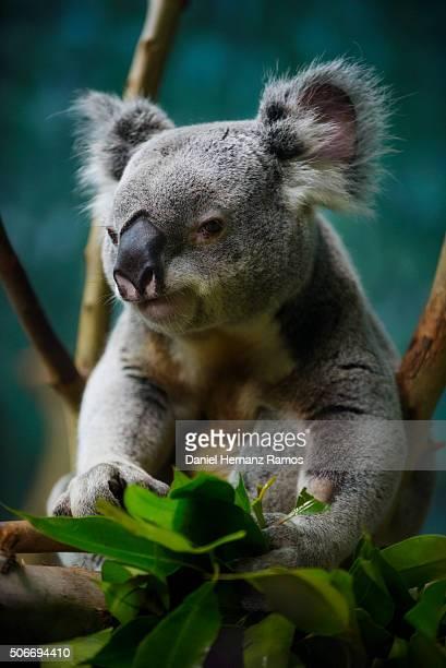 koala - koala photos et images de collection