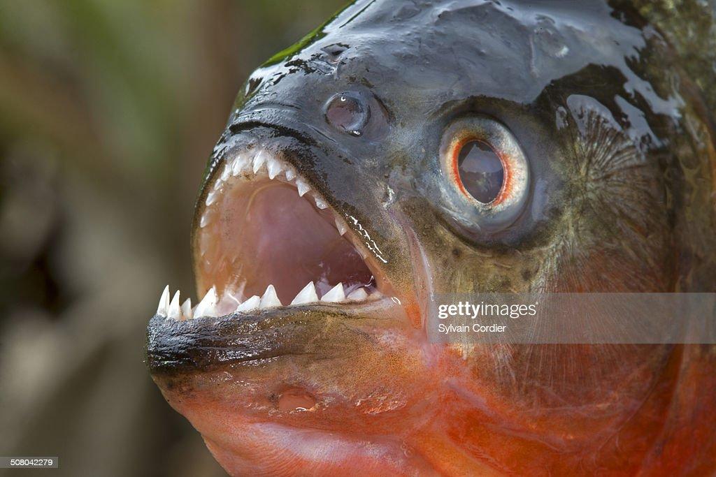 Piranha Kaufen