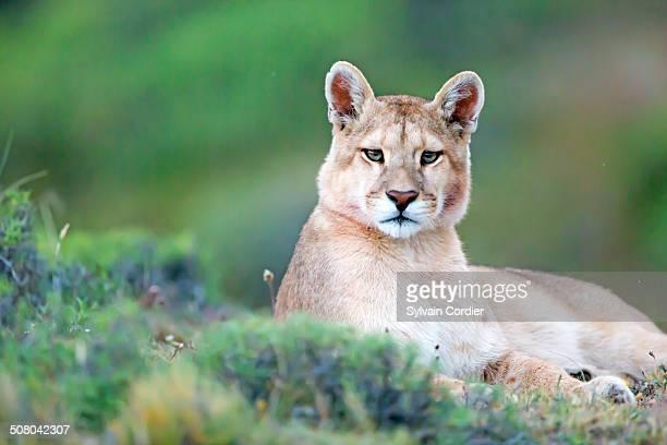 COUGAR OR MOUNTAIN LION
