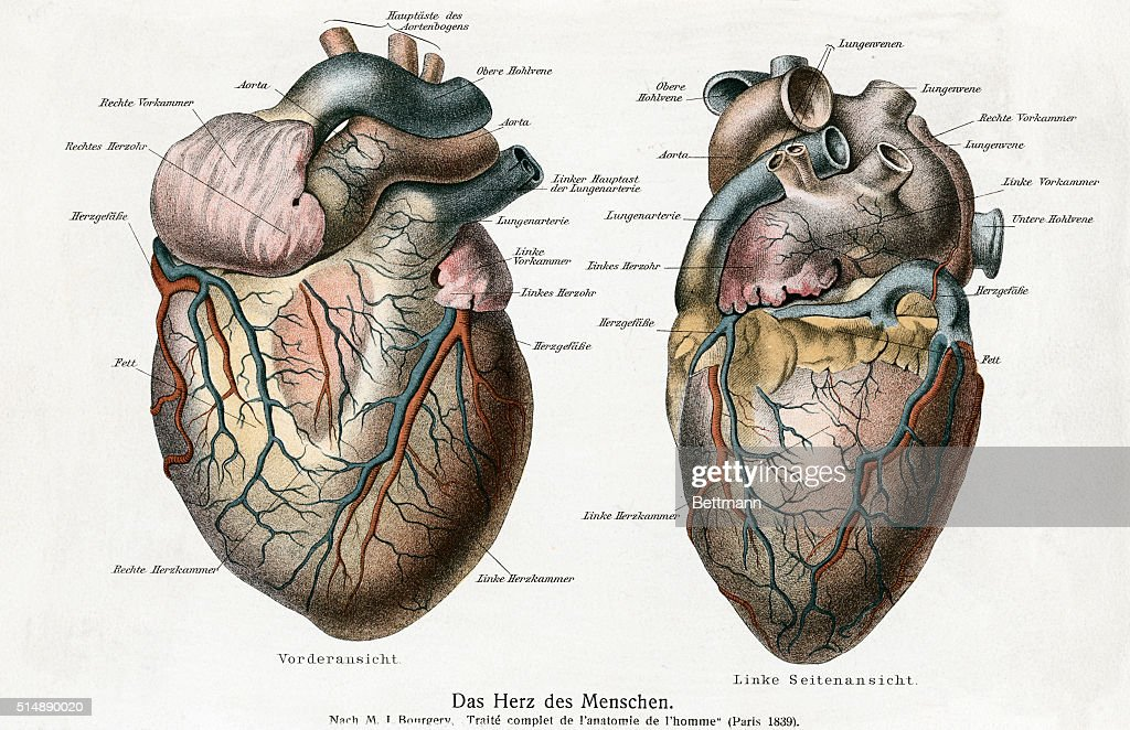 Two diagrams of the human heart pictures getty images complete frontal and back view of the sections of the heart of man these parts ccuart Image collections