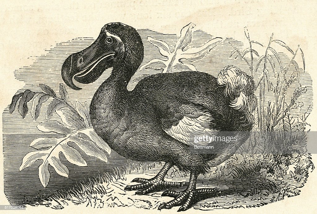 Engraving of a Dodo Bird : News Photo
