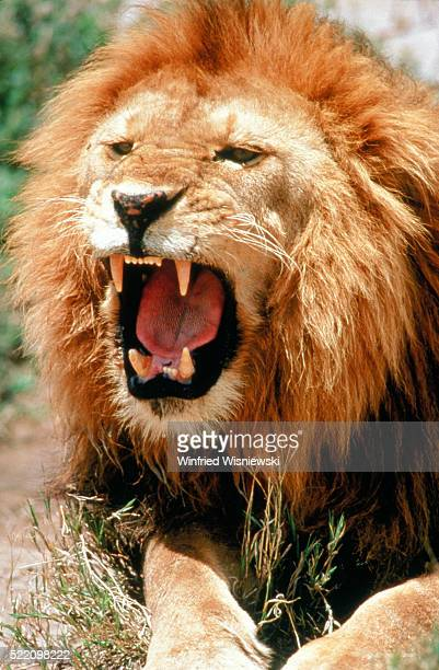 bruellender loewe (panthera leo) - lion attack stock pictures, royalty-free photos & images