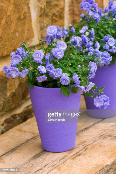 PURPLE TERRACOTTA CONTAINER PLANTED WITH CAMPANULA 'BALI'