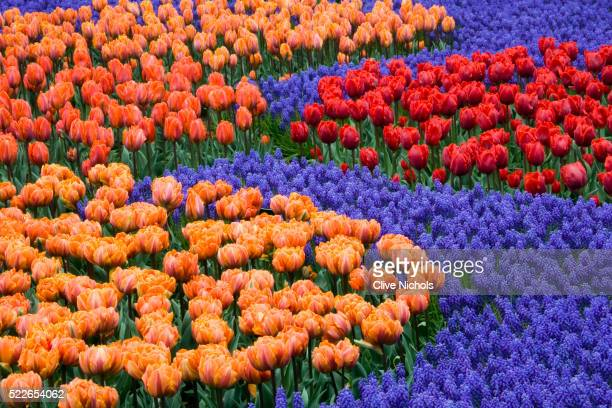 keukenhof gardens, netherlands: bed with tulips 'orange princess', 'hermitage', 'arma' and 'prinses irene' with muscari 'armeniacum. spring - muscari armeniacum stock pictures, royalty-free photos & images