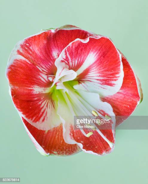 THE RED FLOWER OF AMARYLLIS 'PRELUDE'
