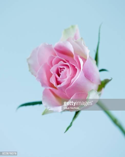 PALE PINK ROSE AGAINST BLUE BACKGROUND