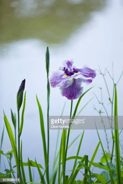 MARWOOD HILL, DEVON: NATIONAL COLLECTION OF ENSATA IRIS - JAPANESE IRIS, IRIS ENSATA 'CAPRICAIN BUTT