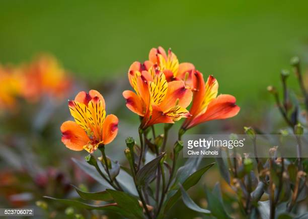 royal botanic gardens, kew, london: alstroemeria 'indian summer' - alstroemeria stock pictures, royalty-free photos & images