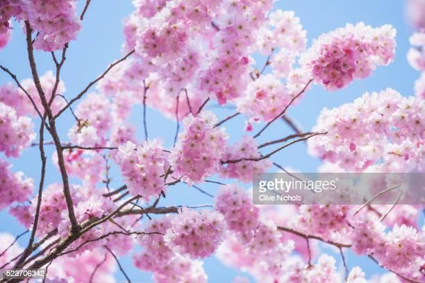 RHS GARDEN, WISLEY, SURREY: PRUNUS ACCOLADE AGM - CHERRY, SPRING, FLOWERS, PINK, BLOSSOM