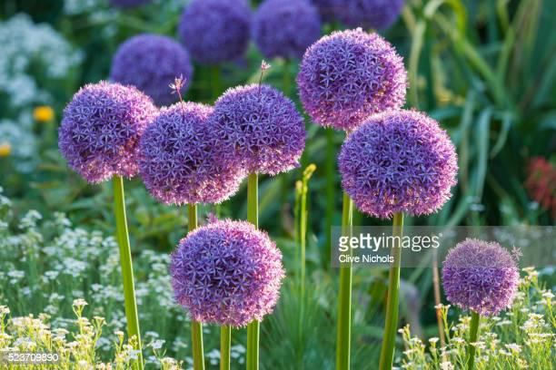 rhs garden, wisley, surrey: allium globemaster - onion, bulb, purple - allium flower stock pictures, royalty-free photos & images