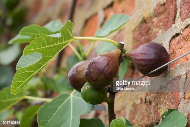 west dean gardens, west sussex: close up of fig in the walled vegetable garden, august, fruit, edibl - fig tree stock pictures, royalty-free photos & images