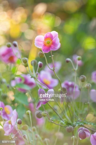 RHS GARDEN, WISLEY: CLOSE UP OF ANEMONE HUPEHENSIS HADSPEN ABUNDANCE - PERENNIAL, SINGLE, PLANT PORT
