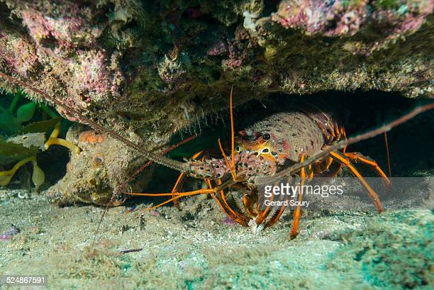 CALIFORNIA ROCK LOBSTER OUT OF ITS DEN
