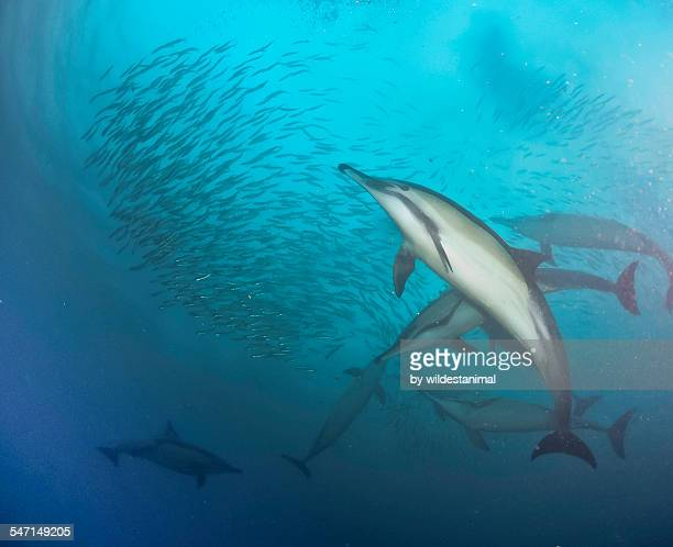 making a move - kwazulu natal sharks stock photos and pictures