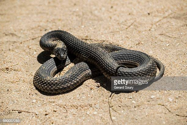 mexican black kingsnake - black snake stock pictures, royalty-free photos & images