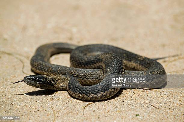 mexican black kingsnake - kingsnake stock photos and pictures