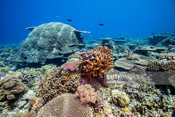 CORAL REEF OF THE SULU SEA