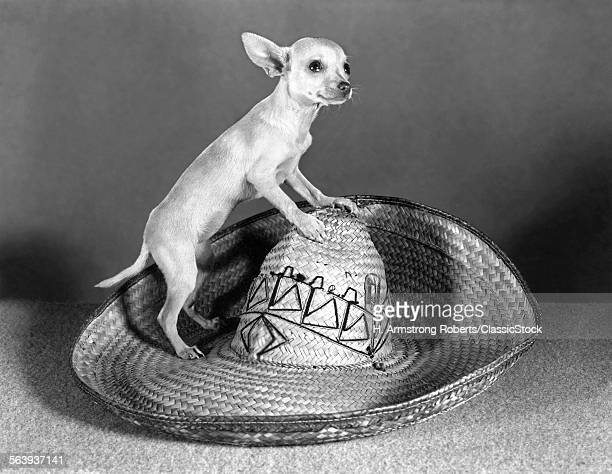 MEXICAN CHIHUAHUA STANDING...