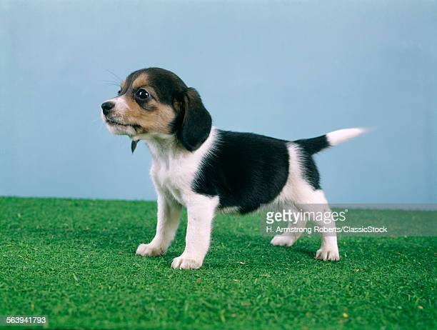BEAGLE PUPPY STANDING ON...