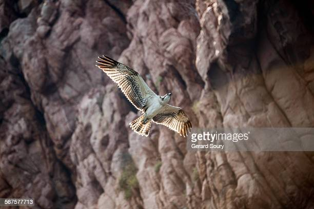 wester osprey flying along a cliff - fischadler stock-fotos und bilder