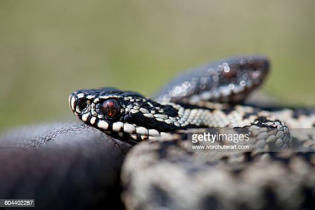 ADDER COURTSHIP, UK