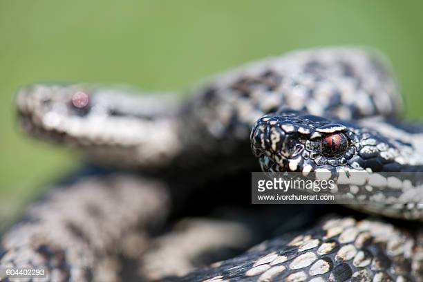 MALE ADDER DISPUTE, UK