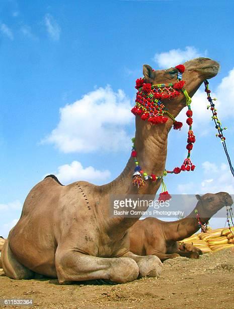 streets of karachi - camello fotografías e imágenes de stock