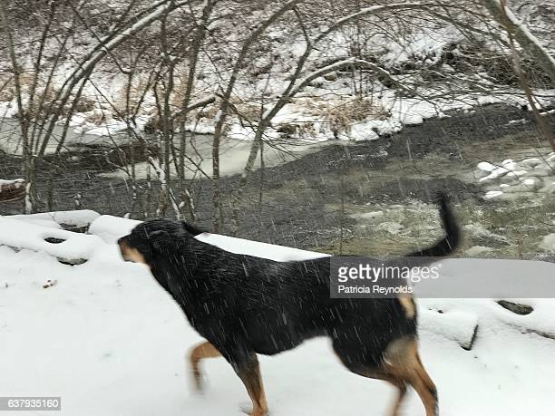 dog running from snowstorm to home - doberman foto e immagini stock