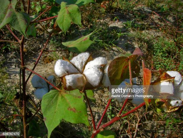 A BLOSSOMED COTTON PLANT
