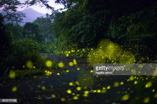 firefly light in summer night - fireflies stock pictures, royalty-free photos & images