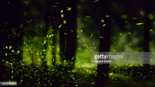 firefly light summer night - グローワーム ストックフォトと画像