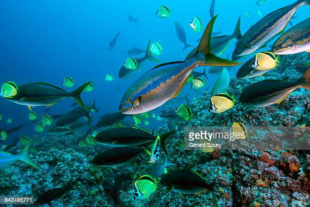bluestriped chubs cleaned by barberfishes - pacific ocean stock pictures, royalty-free photos & images