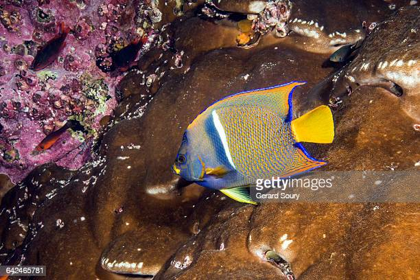 KING ANGELFISH ON A CORAL PATCH