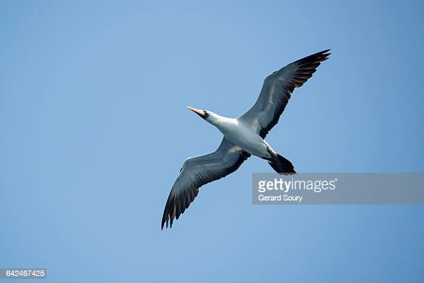MASKED BOOBY FLYING