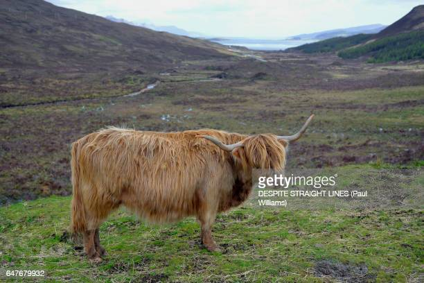 HIGHLAND CATTLE, ISLE OF SKYE