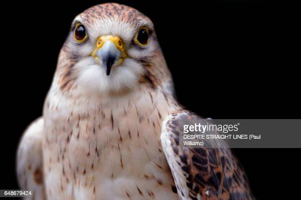 falco peregrinus (peregrine falcon) - peregrine falcon stock photos and pictures