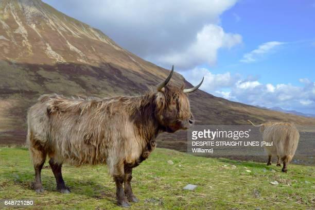 HEILAN COO (Isle of Skye, Scotland)