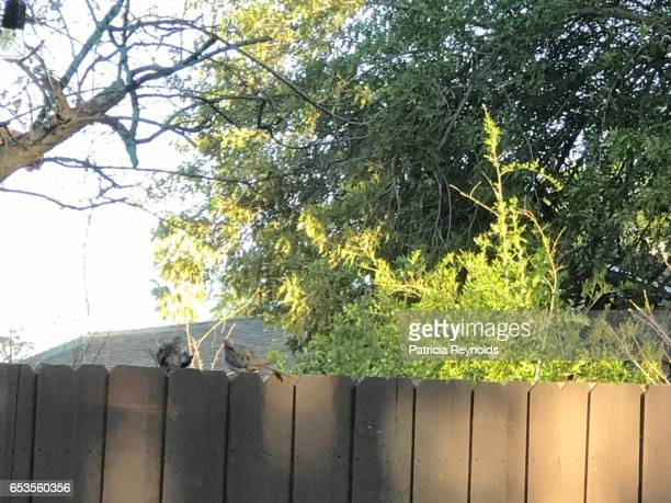 birds preening themselves in the morning on a fence in agoura hills, ca, usa - アゴーラヒルズ ストックフォトと画像