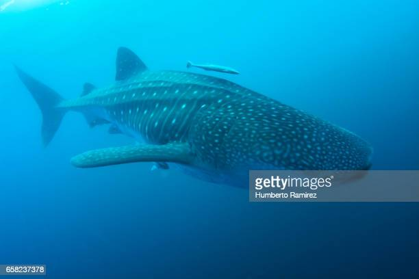 whale shark feeding on bait fish - whale shark stock pictures, royalty-free photos & images