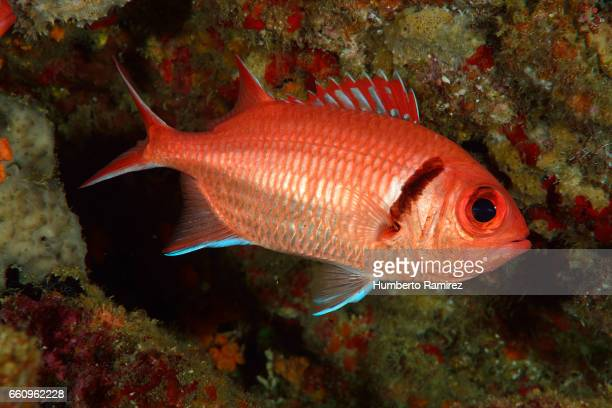 blackbar soldierfish - squirrel fish stock photos and pictures