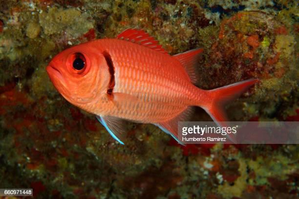 blackbar soldierfish - squirrel fish stockfoto's en -beelden