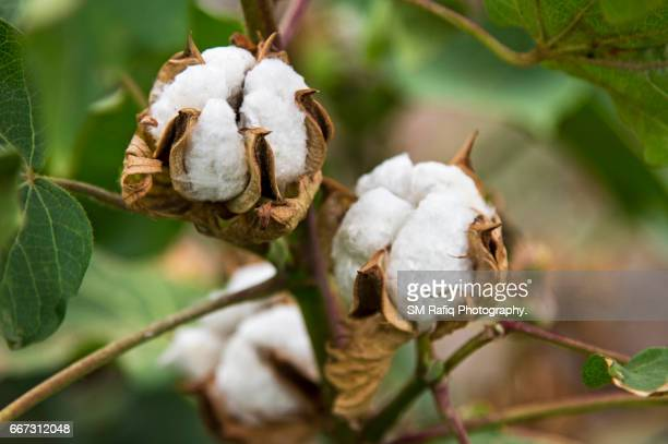 cotton picking season in sindh - cotton gin stock photos and pictures