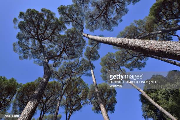 STONE PINE TREES (Pinus Pinea), IN ROME, ITALY