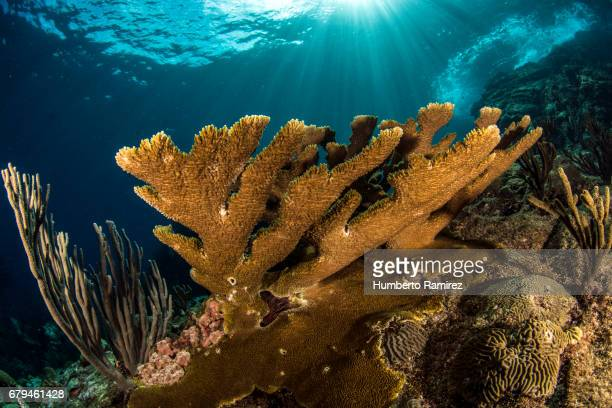 ELKHORN CORAL AND SUN RAYS.
