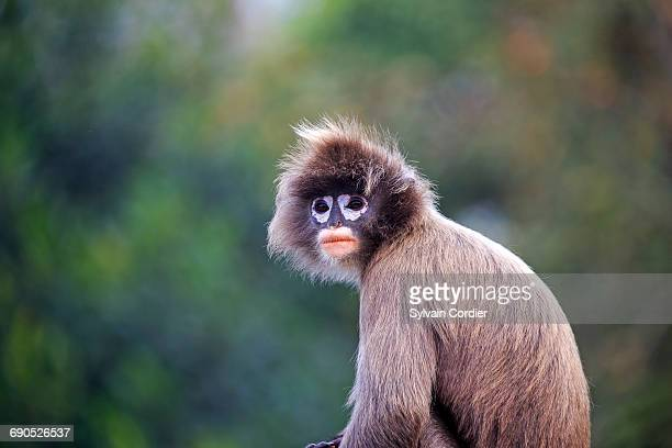 phayre leaf monkey or phayre langur - tripura state stock pictures, royalty-free photos & images