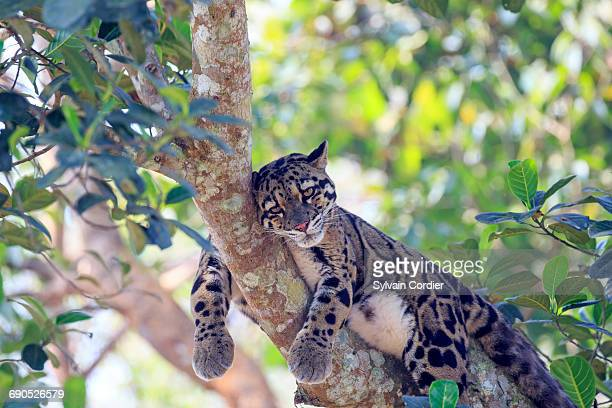 clouded leopard - clouded leopard stock photos and pictures