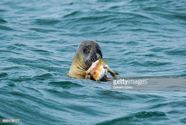 GREY SEAL FEEDING ON A BALLAN WRASSE
