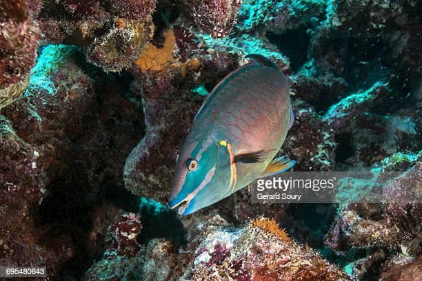 stoplight parrotfish swimming - オランダ領リーワード諸島 ストックフォトと画像