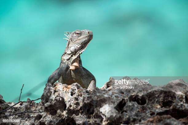 green iguana by the sea side - green iguana ストックフォトと画像