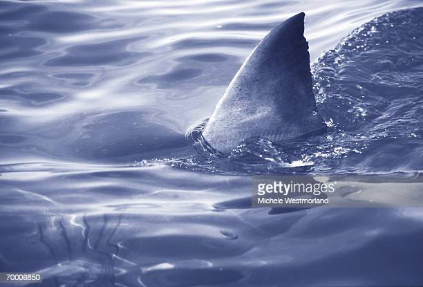 GREAT WHITE SHARK FIN (CARCHARODON CARCHIAS) (DIGITAL ENHANCEMENT)